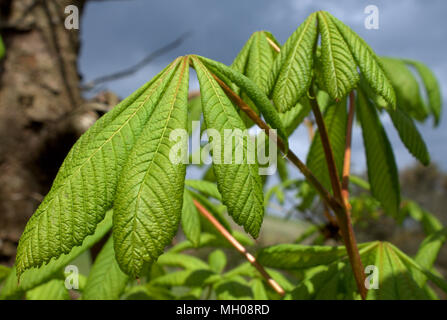 fresh young green leaves of a horse chestnut or Aesculus hippocastanum or conker tree opening up in the spring sunshine. - Stock Photo