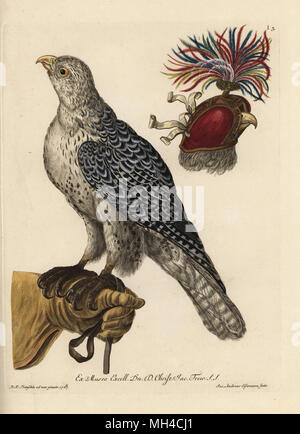 Eurasian sparrowhawk, Accipiter nisus, with hood. Faucon a poitrine blanche, Falco nisus. Handcoloured copperplate engraving by Jakob-Andreas Eisemann after an illustration from nature by Barbara Regina Dietzsch from Georg Wolfgang Knorr's Deliciae Naturae Selectae of Kabinet van Zeldzaamheden der Natuur, Blusse and Son, Nuremberg, 1771. Specimens from a Wunderkammer or Cabinet of Curiosities owned by Dr. Christoph Jacob Trew in Nuremberg. - Stock Photo