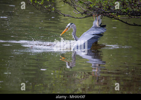 Heron in the water - Stock Photo