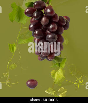 Healthy fruits Red and White wine grapes in the vineyard dark grapes/ blue grapes/wine grapes bunch of grapes on the wooden table ready to eat sunny - Stock Photo