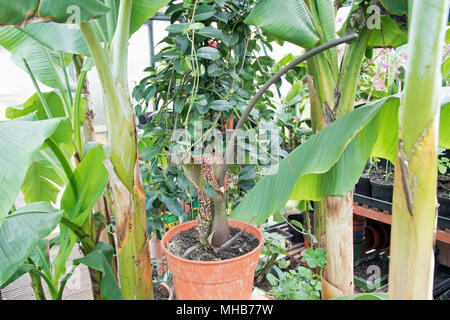 The attractive but evil-smelling voodoo lily, an excellent Christmas present! - Stock Photo