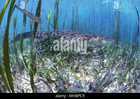 Saltwater crocodile (Crocodylus porosus) between aquatic plants, underwater, Palau, Micronesia - Stock Photo