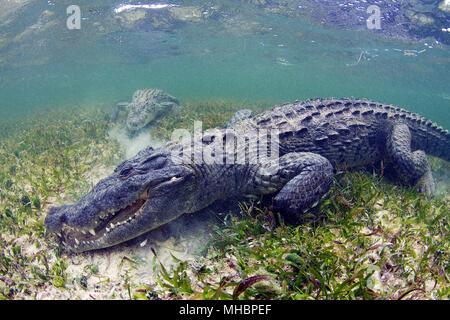 American crocodile (Crocodylus acutus), Underwater, Banco Chinchorro, Quintana Roo, Mexico - Stock Photo