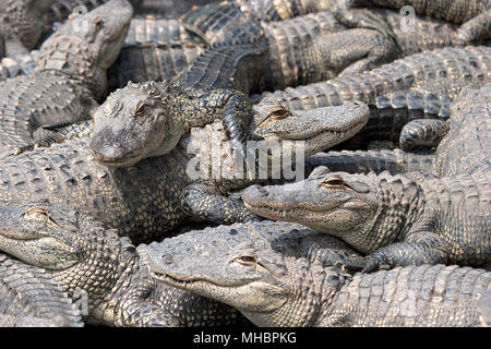 American alligators (Alligator mississippiensis), young animals one above the other, Everglades, Florida, USA - Stock Photo
