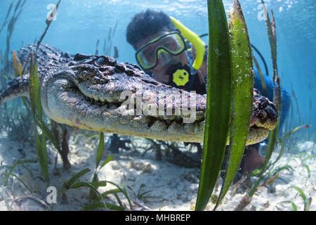 Diver and Saltwater crocodile (Crocodylus porosus), Underwater, Palau, Micronesia - Stock Photo