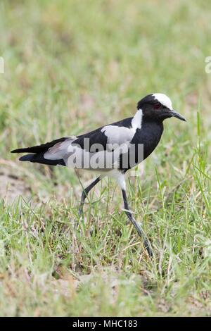Blacksmith Lapwing or Plover (Vanellus armatus). Okavango, Botswana. East and central Africa. - Stock Photo