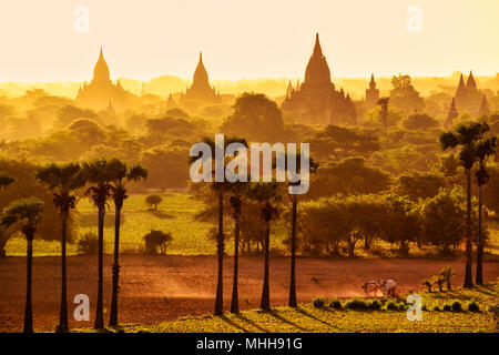 Colorful bright sunrise in with temples, fields and working cattle, Bagan, Myanmar (Burma) - Stock Photo