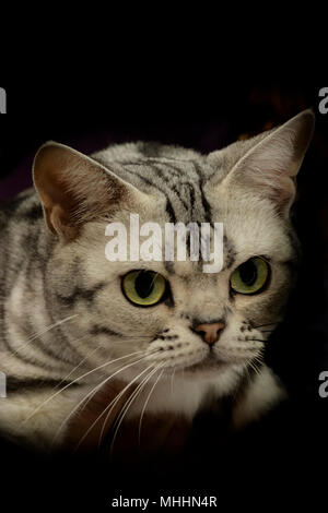A cat pet close up portrait while looking at you with big green eyes in the black background - Stock Photo