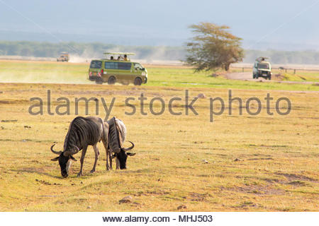 Amboseli National Park (Kenya), 21 February 2018. Wildebeest grazing grass, with jeep in the background during a safari. - Stock Photo