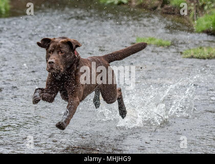 Labrador Retriever Playing in Water - Stock Photo