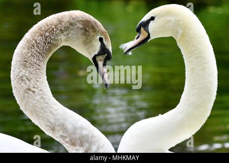 02 May 2018, Bad Kösen, Germany: Two swans at the park, forming with their necks the shape of a heart. In the coming days, the weather invites you to stay outdoors. Photo: Frank May/dpa-Zentralbild/ZB - Stock Photo
