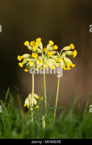 Cowslip (Primula veris) flowers in a a grassy meadow - Stock Photo