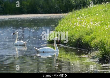 Pair of white swans on the spring lake - Stock Photo