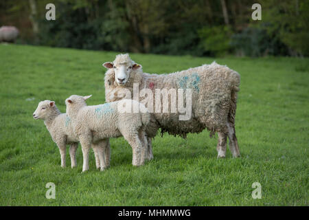 ewes and lambs in a sheep flock - Stock Photo