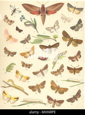 MOTHS. Elephant Hawk;Crimson-speckled Footman;Bond's Wainscot;Reddish Buff 1903 - Stock Photo