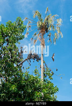 Spectacled fruit bats roosting in trees in central are of Cairns city - Stock Photo