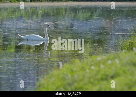 white swans on the lake in spring time - Stock Photo