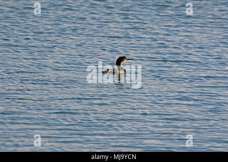cormorant or liver bird swimming in the sea in the port of Numana near Ancona in Italy Latin name phalacrocorax carbo pelecaniformes - Stock Photo