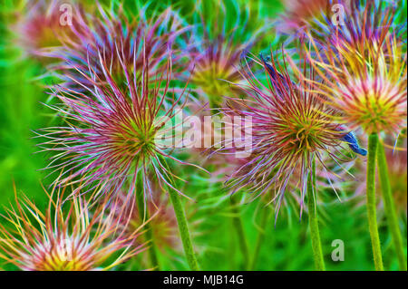 Stunning delicate yet bold Aster flowers in full bloom. - Stock Photo