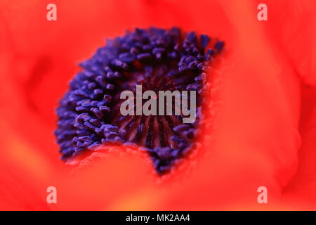 abstract view of common poppy - Stock Photo
