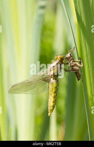 18 of 22. Adult Broad-bodied chaser dragonfly emerging from larval case. complete sequence. exuvia, exoskeleton, Libellula depressa, May, Sussex UK. - Stock Photo