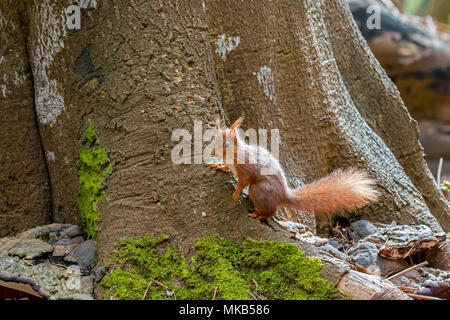 Red Squirrel on base of tree on Brownsea Island. - Stock Photo