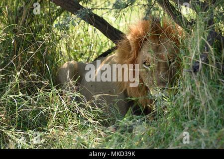 Lion (Panthera leo) lying in shrubs, Moremi, Botswana - Stock Photo