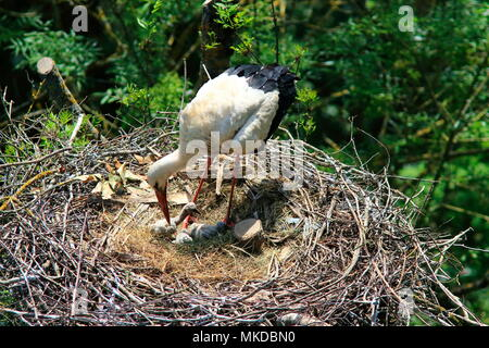 White Stork (Ciconia ciconia) and young at nest in spring - Stock Photo