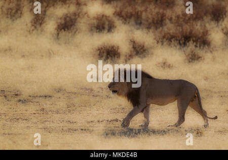 Lion (Panthera leo). Black-maned Kalahari male, roaming in the dry Auob riverbed. Kalahari Desert, Kgalagadi Transfrontier Park, South Africa. - Stock Photo
