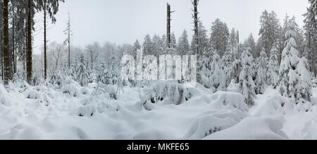 Norway spruce (Picea abies) snow-covered spruce forest, Ardennes - Stock Photo