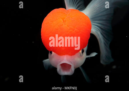 Goldfish (Carassius auratus) 'Red Cap Oranda' on black background - Stock Photo