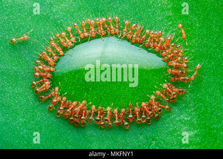 Rock ants feasting on green leaf, piling on top of each others forming oval shape ring around a drop honey. - Stock Photo