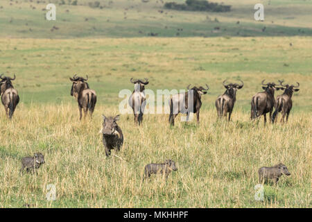 Eastern wildebeest (Connochaetes taurinus albojubatus) and Warthog (Phaecochoerus aethiopicus) female and her young looking at cheetah males, Masai-Mara Reserve, Kenya - Stock Photo