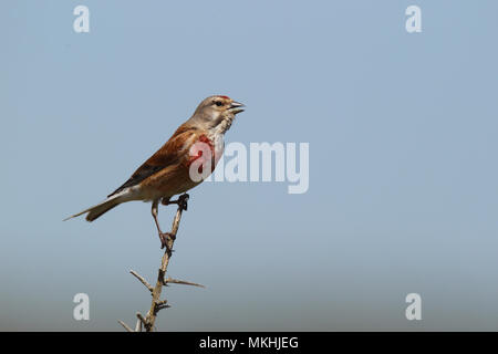 Common linnet (Acanthis cannabina) singing male - Stock Photo