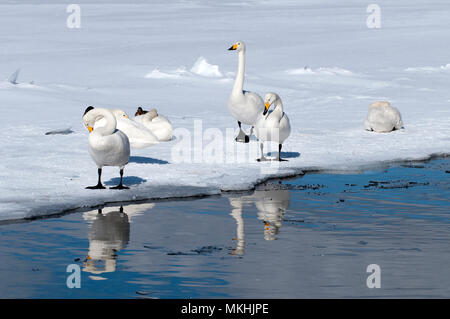 Whooper swan (Cygnus cygnus) group, Japan - Stock Photo