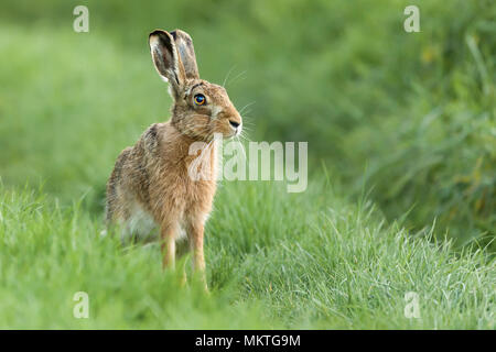 Beautiful wild hare in Norfolk UK early morning seen close up and in high detail. Wet grass farmland location - Stock Photo
