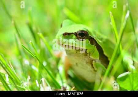 Green European Tree Frog (Hyla arborea) Sitting in Grass. - Stock Photo