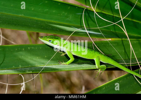 Carolina anole balancing on the palm tree leafs. - Stock Photo