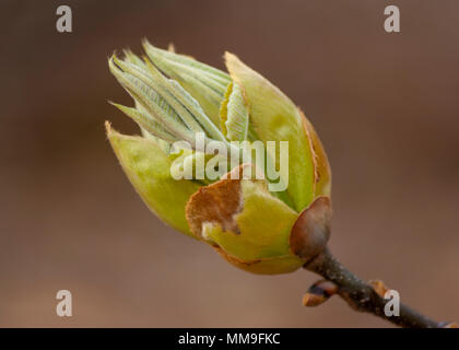 Bud - horse-chestnut tree (Aesculus hippocastanum) - Stock Photo