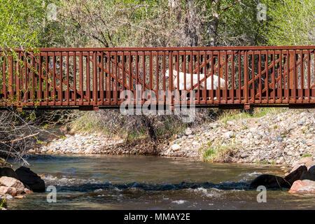 Platinum colored Golden Retriever dog running across a bridge over the Little Arkansas River; central Colorado; USA - Stock Photo