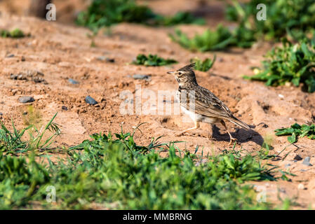 Galerida cristata or Crested Lark on ground - Stock Photo