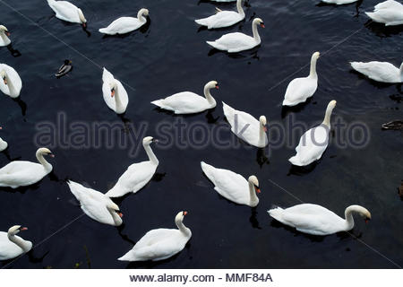 Elevated view of Swans swimming in water. - Stock Photo