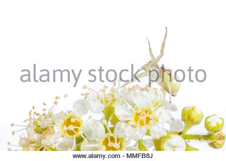 Spider Crab on a flower. - Stock Photo