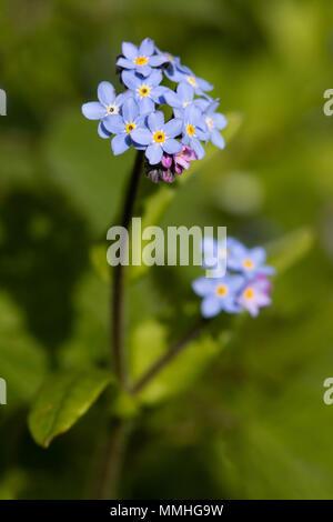 Field Forget-me-not (Myosotis arvensis) flower - Stock Photo