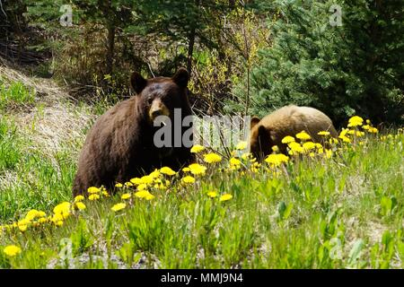 Black bear mother chewing a dandelion with lighter colored cub nearby. - Stock Photo
