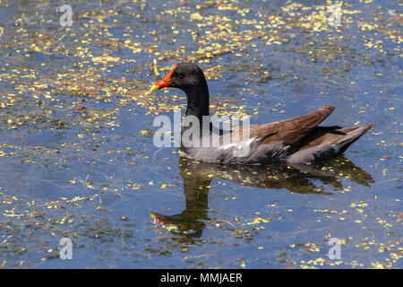 Common Gallinule on Shoveler's Pond at Anahuac National Wildlife Refuge in Southeastern Texas. - Stock Photo