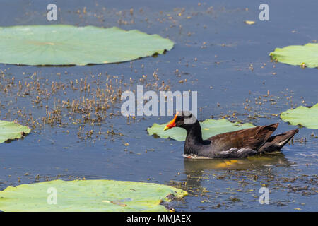 Common Gallinule in breeding plumage on Shoveler's Pond at Anahuac National Wildlife Refuge in Southeastern Texas. - Stock Photo