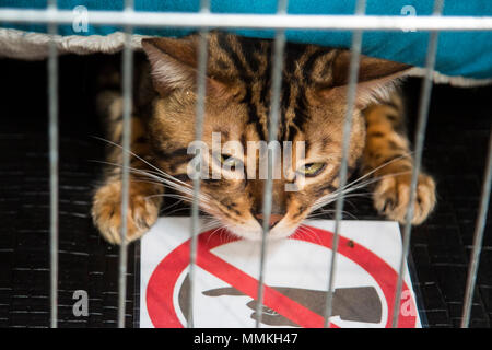 Dortmund, Germany. 12 May 2018. Bengal cat in a cage. One of the largest dog and cat shows Hund & Katz takes place with more than 8000 dogs from 250 different breeds from 11 to 13 May at Westfalenhallen trade fair in Dortmund. Credit: 51North/Alamy Live News - Stock Photo