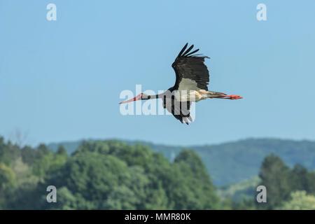 Black Stork Flying, Ciconia nigra. - Stock Photo