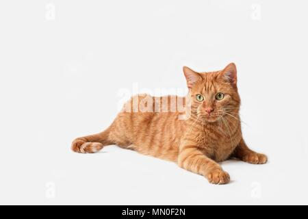 Curious ginger cat lying down - Isolatet on grey - Stock Photo